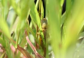 草のなかのイナゴ