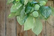 青々とした柿の実