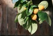 オレンジ色の柿の実