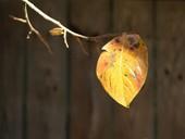 柿色になった葉