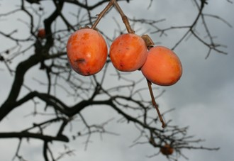 三つ並んだ残り柿