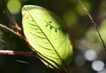 太陽に透けた葉