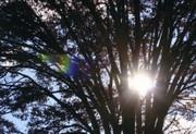 ケヤキの樹越しの太陽