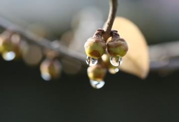 黄色のつぼみと雨粒