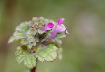 濃いピンクの大小の花