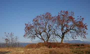 柿の木のある風景