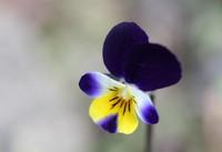 三色すみれの花