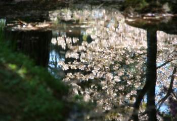 4/22池に映った桜