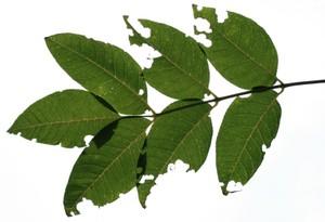 虫食いの葉