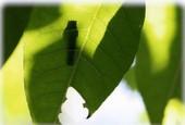 木の葉に幼虫の影