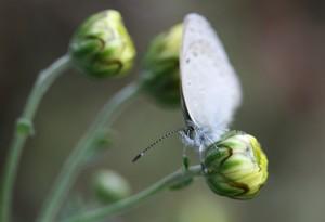 菊のつぼみとシジミチョウ