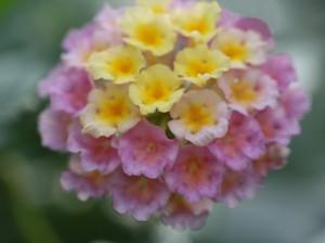 優しい色のランタナの花