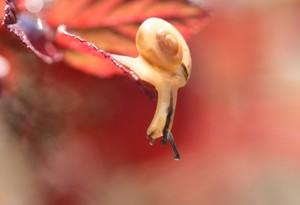 紅葉の中のカタツムリ