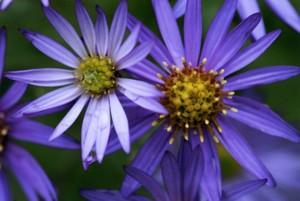 紫あざやかなノコンギク