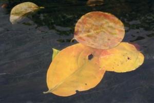 川の中の柿の葉