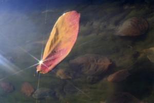 光を放つ柿の葉