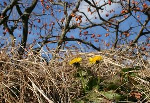 柿畑の土手に咲くたんぽぽ