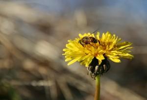 蜜に夢中のミツバチ