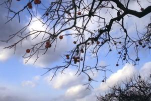 頭上の柿の枝