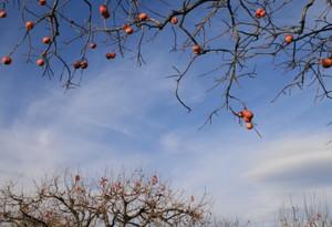 いつもの柿の木