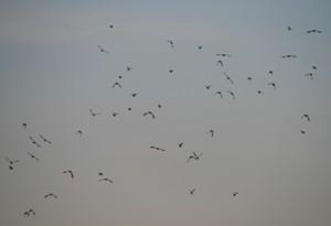 群れ飛ぶ鳥