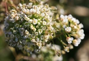 無数の花芽のナズナ