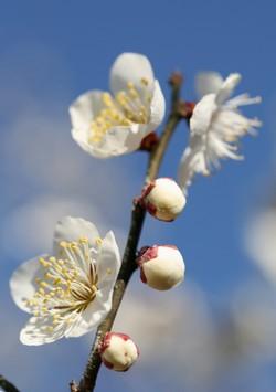 空に向かって咲く梅の花