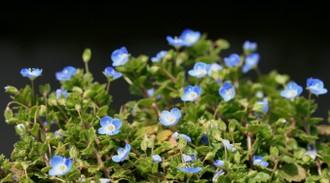 花いっぱいのオオイヌノフグリ