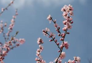 青空に咲く桃の花
