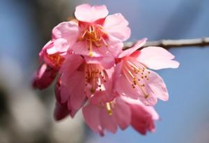 小枝に咲く桜