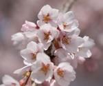 同じ枝垂れ桜のアップ