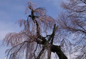 五分咲きの桜