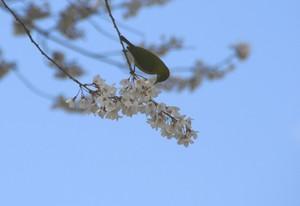 桜をついばむメジロ