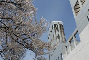 コンクリートの壁と桜