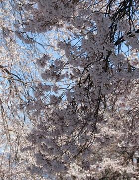重なる桜の枝