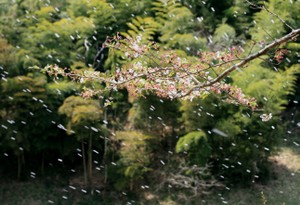 竹藪の前の桜吹雪