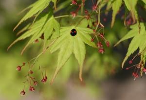 モミジの葉とテントウムシ