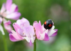 レンゲの花とテントウムシ