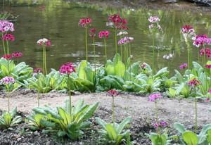池に植えられたクリンソウ