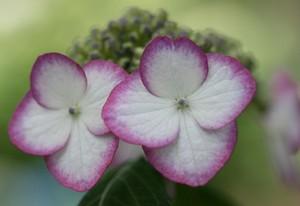 薄ピンクの縁取りの紫陽花