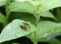 雨にぬれてるアマガエル