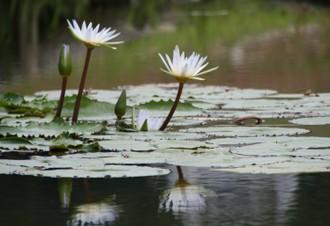 白いスイレンの花