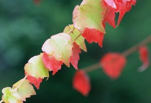 蔦の葉の彩り