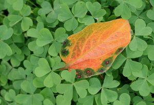 緑のじゅうたんと柿の葉