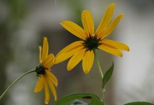 後ろ姿のキクイモの花