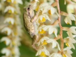 蘭の花をよじ登るカエル