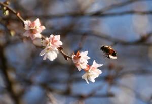 さくらとミツバチ