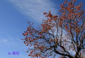 飛行機雲と柿の木