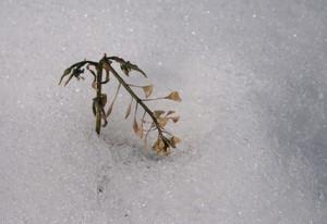 雪の中のナズナ