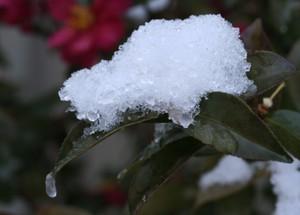 サザンカの葉に雪